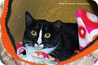 Domestic Shorthair Cat for adoption in Lincoln, Nebraska - Mamie