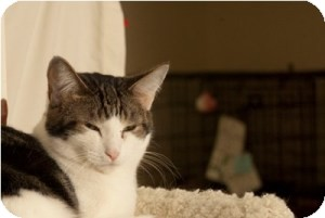 Domestic Shorthair Cat for adoption in Milwaukee, Wisconsin - Lorena