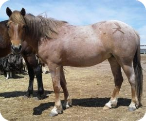 Mustang Mix for adoption in Eaton, Colorado - Jeramie