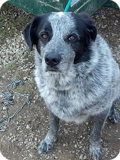 Great Pyrenees/Australian Cattle Dog Mix Dog for adption in Rising Sun, Indiana - Grover - CINCINNATI, OH