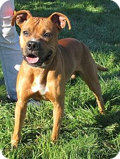 Boxer Mix Dog for Sale in Lisbon, Ohio - Lorenzo