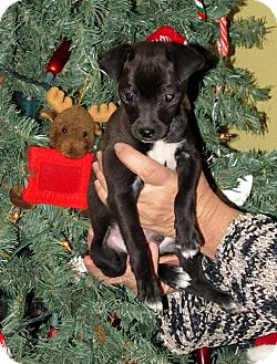 Chihuahua/Chihuahua Mix Puppy for Sale in Phoenix, Arizona - SPECKLE