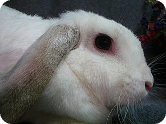Mini Lop Mix for adoption in Newport, Delaware - Ellie Mae