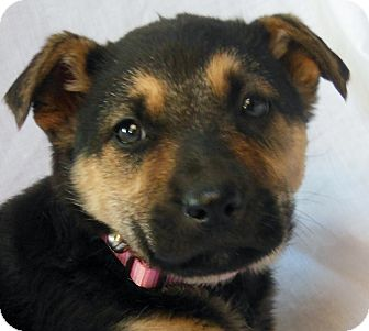 German Shepherd Dog/Labrador Retriever Mix Puppy for Sale in Thousand Oaks, California - Stella