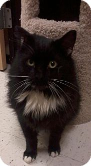 Domestic Mediumhair Cat for Sale in Salem, New Hampshire - Merrill