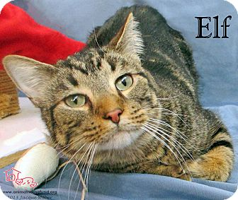 Domestic Shorthair Cat for adoption in St Louis, Missouri - Elf
