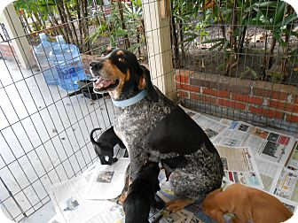 Bluetick Coonhound Mix Dog for adption in Sarasota, Florida - Holly