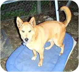 Jindo/German Shepherd Dog Mix Dog for adption in Pasadena, California - Ray