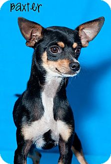 Miniature Pinscher Dog for Sale in Phoenix, Arizona - Adam