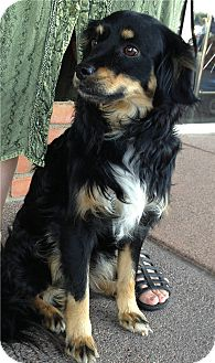 Cocker Spaniel Mix Dog for Sale in Chandler, Arizona - Charlie