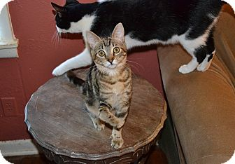 Domestic Shorthair Kitten for Sale in Fort Worth, Texas - Ducky