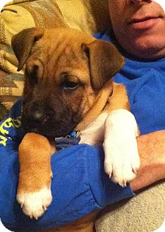 Boxer/Shar Pei Mix Puppy for Sale in Somers, Connecticut - Frankie: Mr Personality!