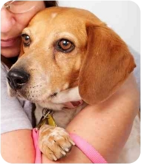 Beagle Mix Dog for adption in Phoenix, Arizona - Amy Lynn