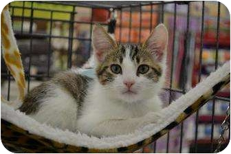 Domestic Shorthair Kitten for adoption in Chino, California - Gus