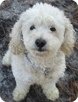 Cockapoo Mix Dog for Sale in Forked River, New Jersey - Pauline