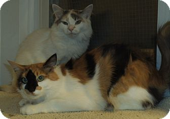Domestic Mediumhair Cat for adoption in Bear, Delaware - Rayne and Sunshine