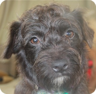 Schnauzer (Miniature)/Fox Terrier (Wirehaired) Mix Dog for Sale in Norwalk, Connecticut - Carmine - adoption pending
