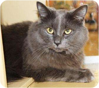 Russian Blue Cat for adoption in Smyrna, Tennessee - Smokey