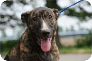 Shepherd (Unknown Type) Mix Dog for adption in Barrington, Rhode Island - Jill (JA)