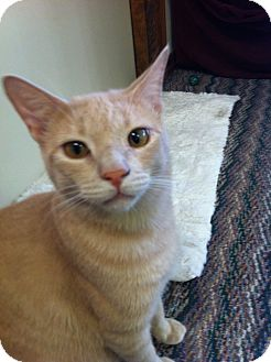 Domestic Shorthair Cat for Sale in Phoenix, Arizona - Buff