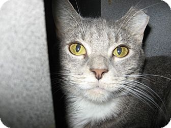 Domestic Shorthair Cat for adoption in Fountain Hills, Arizona - SUNNY