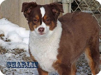Australian Cattle Dog Mix Dog for Sale in Hamilton, Montana - Charlie