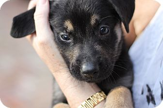 German Shepherd Dog Mix Puppy for Sale in Lighthouse Point, Florida - Tucker