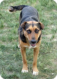 Shepherd (Unknown Type)/Doberman Pinscher Mix Dog for adption in Westminster, Colorado - Sammy