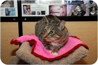 Domestic Shorthair Cat for adoption in Farmingdale, New York - Stretch