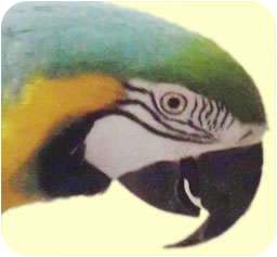 Macaw for adoption in Arlington, Virginia - Mango
