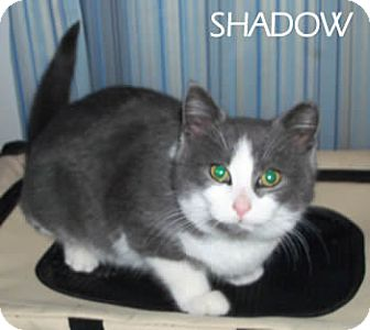 Domestic Shorthair Cat for adoption in Olmsted Falls, Ohio - Shadow-COURTESY POST