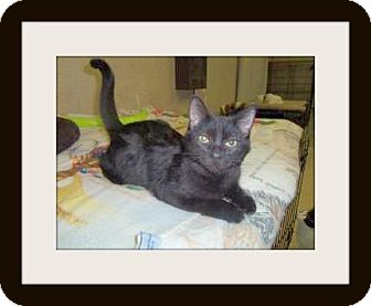 Domestic Shorthair Cat for adoption in Medford, Wisconsin - BLACK JACK