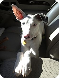 Dalmatian/Whippet Mix Dog for Sale in Scottsdale, Arizona - Frankie