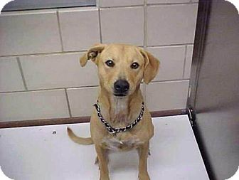 Basenji/Labrador Retriever Mix Dog for adption in Bedford, Texas - Bridgette