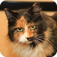Calico Cat for Sale in Albany, New York - Marina