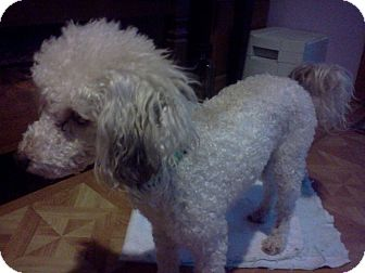Poodle (Miniature) Dog for Sale in bridgeport, Connecticut - Sammy
