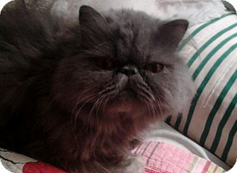 Persian Cat for Sale in Columbus, Ohio - Winston