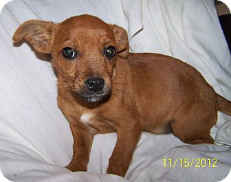 Chihuahua/Cairn Terrier Mix Puppy for Sale in Sussex, New Jersey - Kit $50 Off Adoption Fee