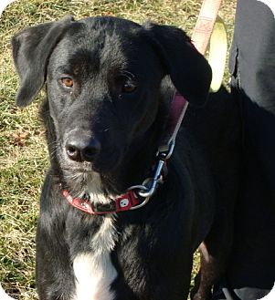 Labrador Retriever Mix Dog for adption in Lisbon, Ohio - Tuner