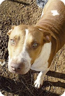 Beagle/Hound (Unknown Type) Mix Dog for adption in Moulton, Alabama - Honey