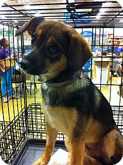 Beagle/Chihuahua Mix Dog for Sale in Gainesville, Florida - Tina