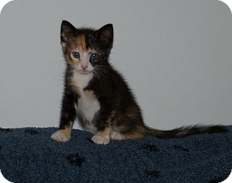 Calico Kitten for Sale in Lighthouse Point, Florida - Tory