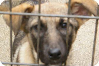 Shepherd (Unknown Type) Mix Puppy for Sale in anywhere, New Hampshire - Suzie