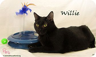 Domestic Shorthair Cat for adoption in St Louis, Missouri - Willie