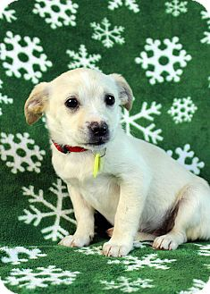 Terrier (Unknown Type, Small)/Chihuahua Mix Puppy for Sale in Westminster, Colorado - Gazelle