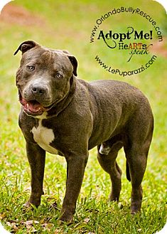 American Staffordshire Terrier Mix Dog for adption in Orlando, Florida - Bambino