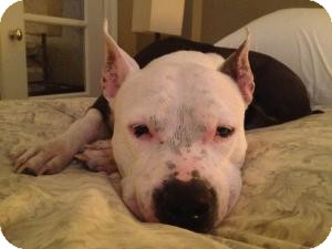 Pit Bull Terrier Mix Dog for adption in Flushing, New York - Mama