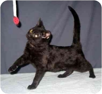 Domestic Shorthair Kitten for Sale in Powell, Ohio - Tasmine