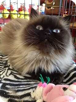 Himalayan Cat for Sale in Beverly Hills, California - Bliss