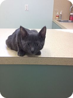 Russian Blue Kitten for Sale in Ft. Lauderdale, Florida - Mandy